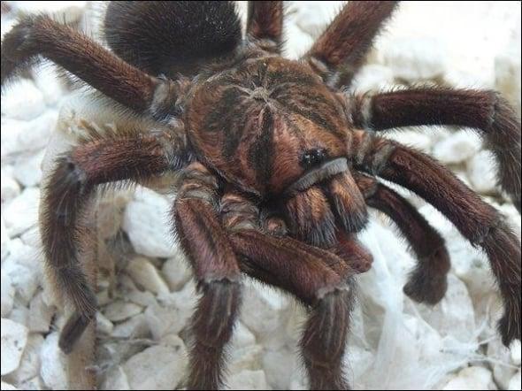 Latin Spider
