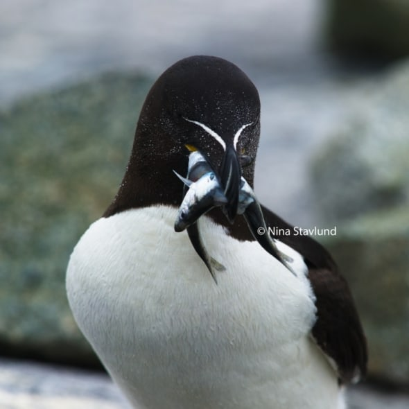 Home with Food - Razorbill