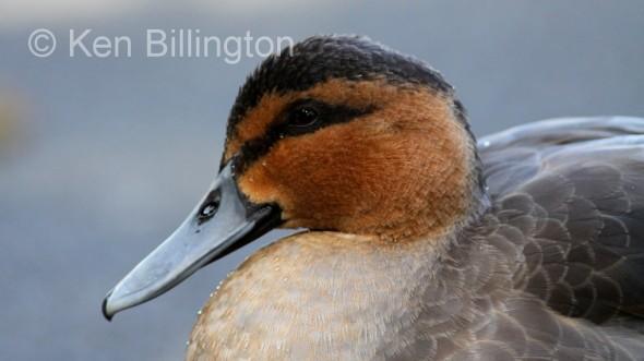 Philippine Duck (Anas luzonica) (5).JPG