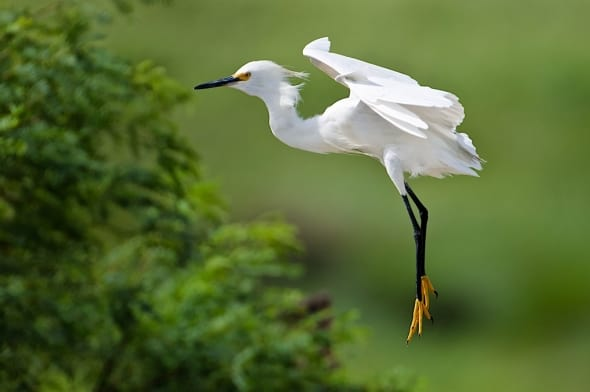 Suspended Egret