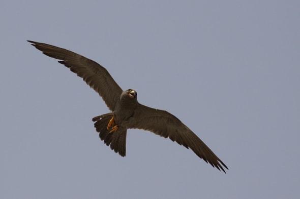 Sooty Falcon (Falco concolor)