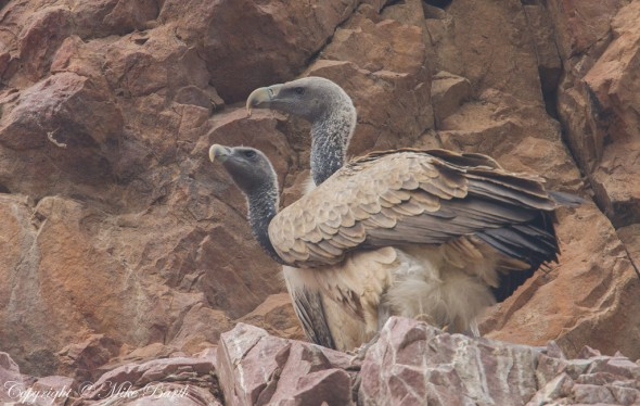 Indian Vulture Gyps indicus