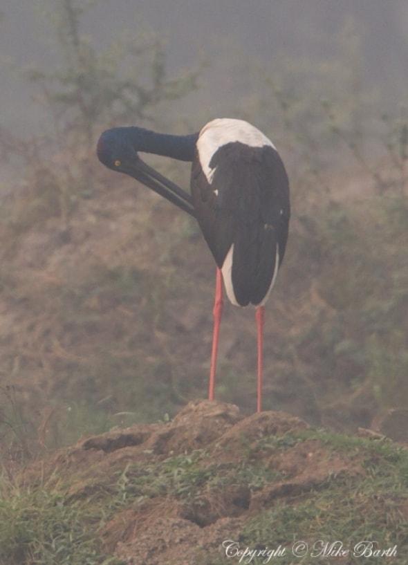 Black-necked Stork Ephippiorhynchus asiaticus (NT)