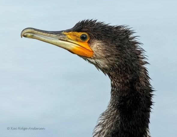 Great Cormorant (Phalacrocorax carbo sinensis)