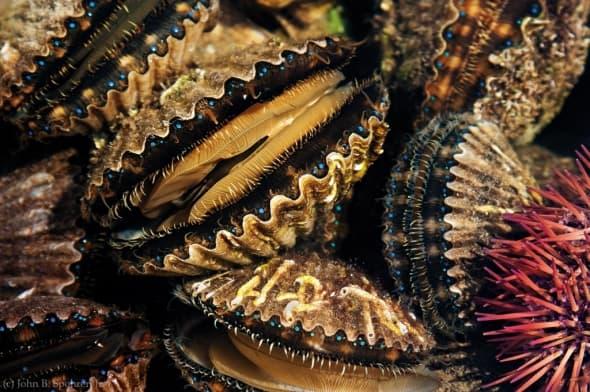 Blue-eyed bay scallops & urchin