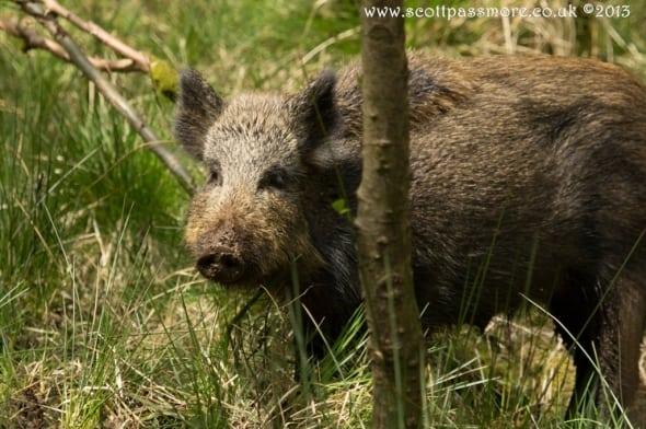 Wild Boar 5