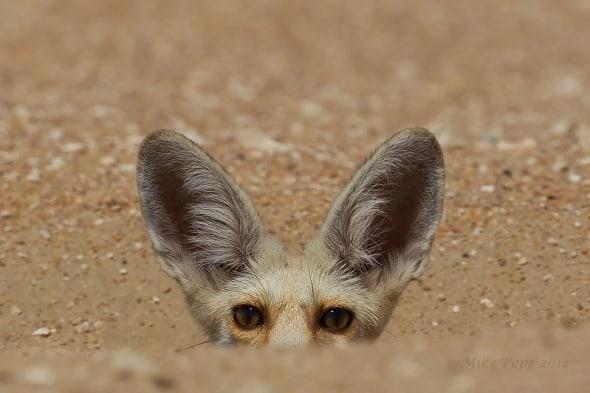 Curious Arabian Red Fox