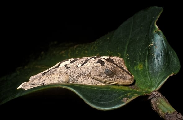 Hyla Geographica Coproflage