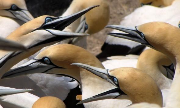 Arguing Cape Gannets