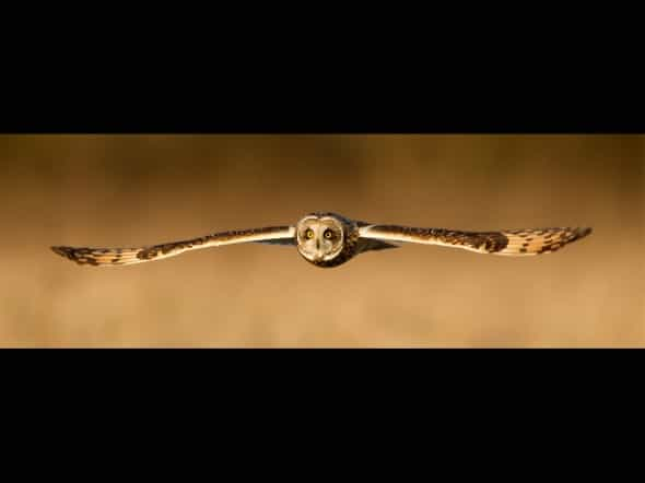 Target Locked - Short-eared Owl