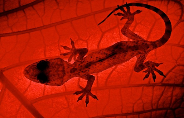 Gecko Backlit X-Ray