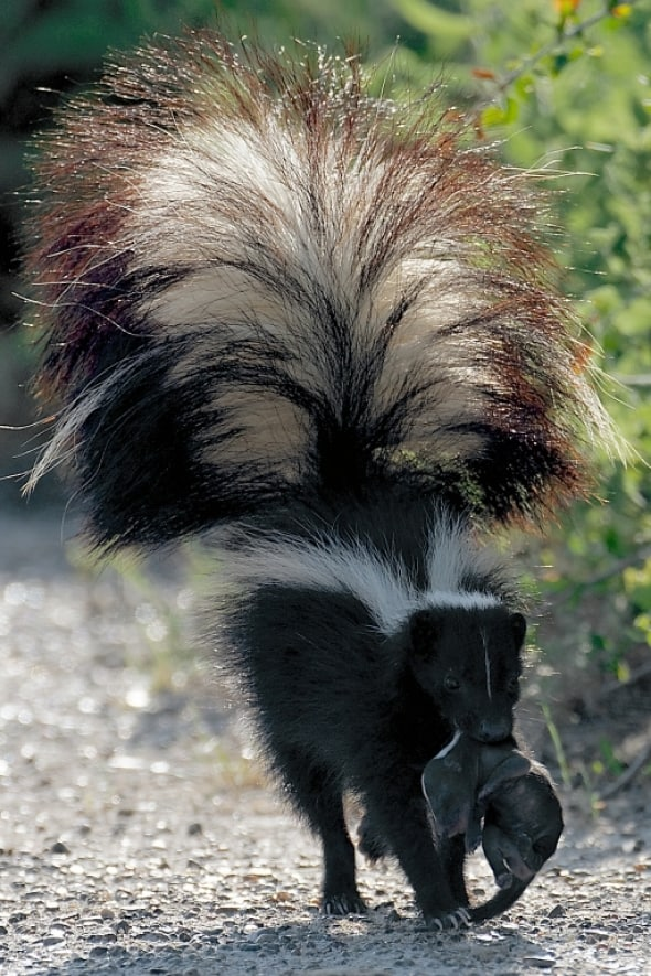 Striped Skunk and Kitten