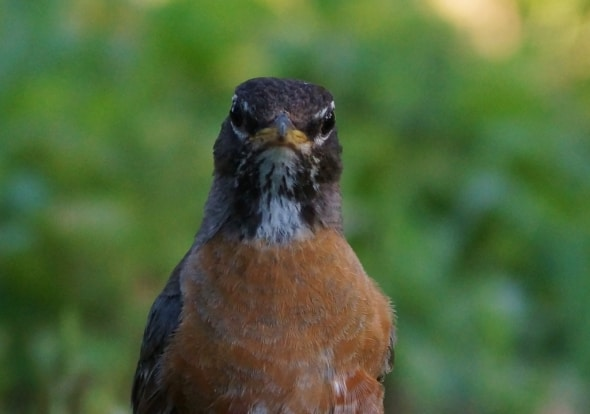 Angry Bird, (American Robin)