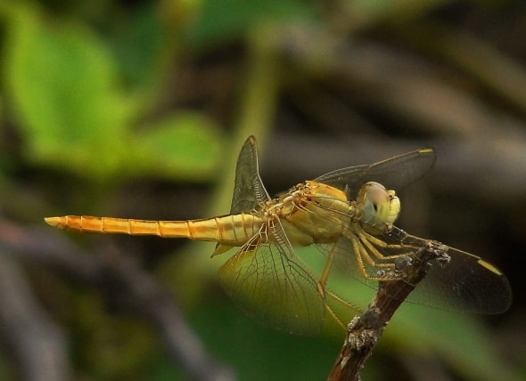 Female Darter on lookout