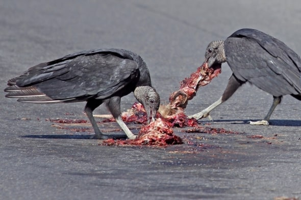 Black Vulture Table Manners