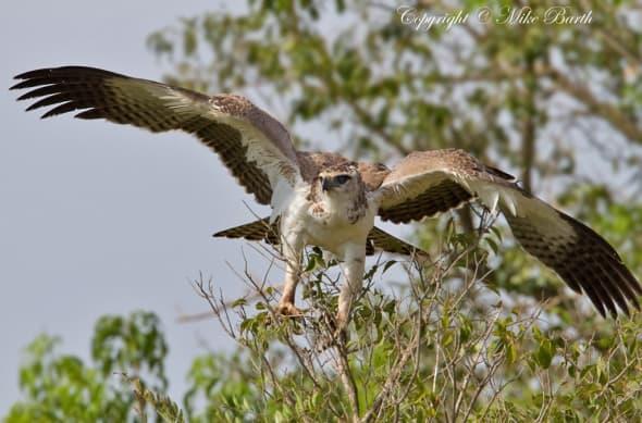 Martial Eagle Polemaetus bellicosus