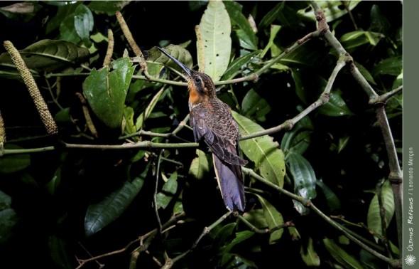 Saw-billed Hermit, Ramphodon naevius
