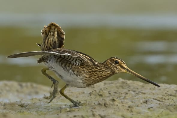 Watersnipe