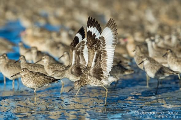Stretching Willets