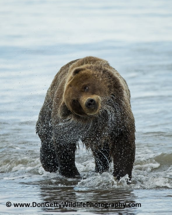 Alaskan Brown Bear after a swim