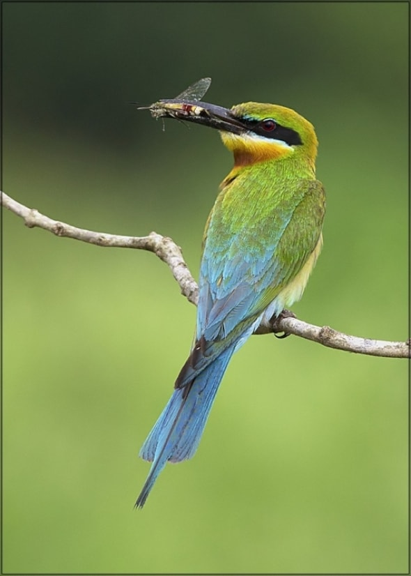 Blue Tailed Beeeater