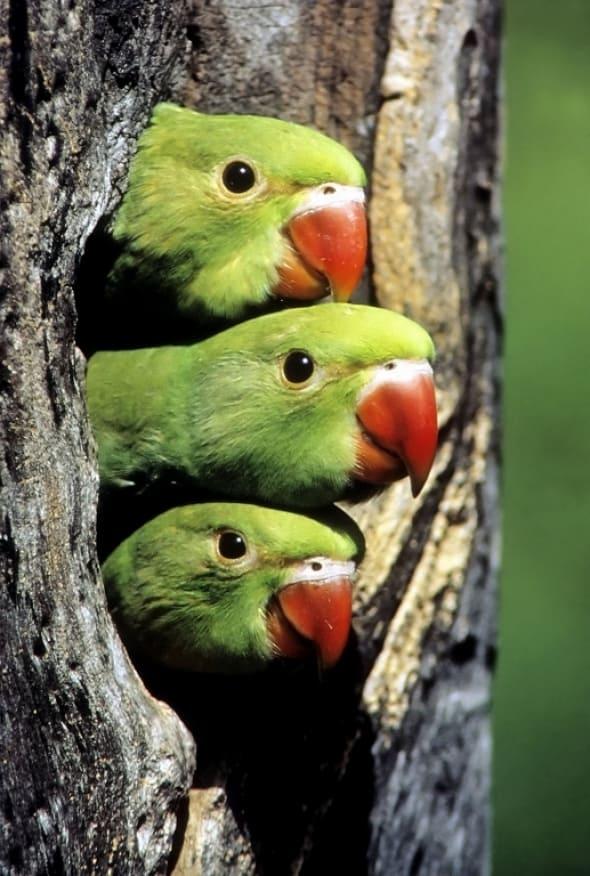 Rose-ringed Parakeet Nestlings