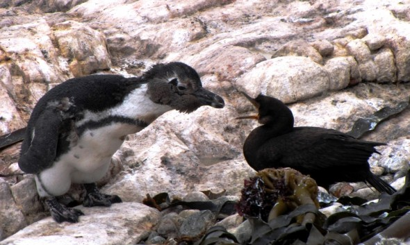 Moulting African Penguin inspects Crowned Cormorant