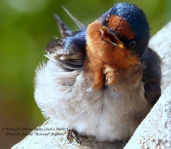 Baby Welcome Swallow in Townsville