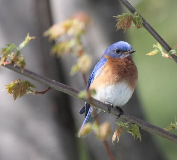 Michigan Eastern Bluebird