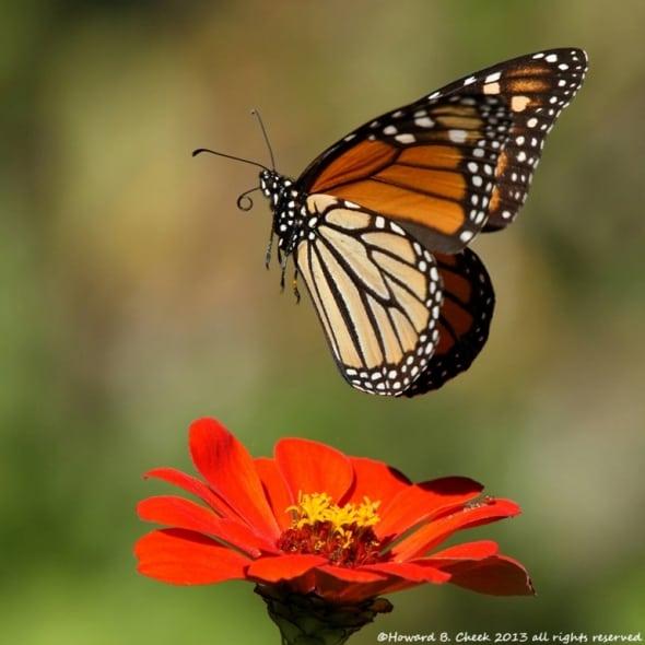 Colors Rising - Monarch