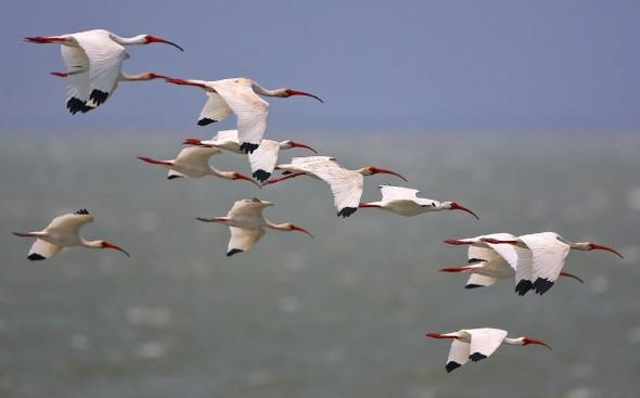 White Ibis over The Gulf