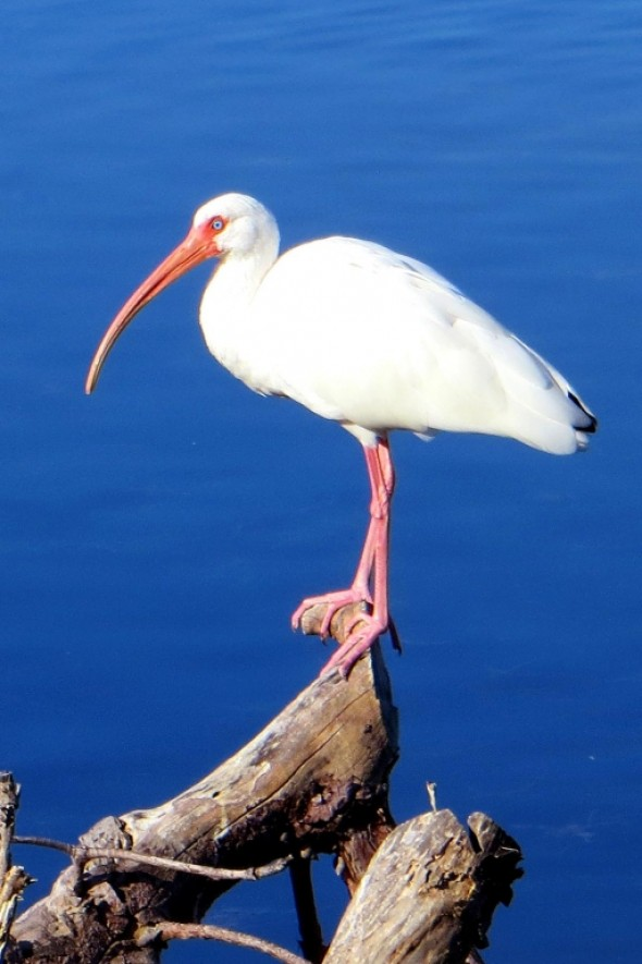White Ibis in Sanibel