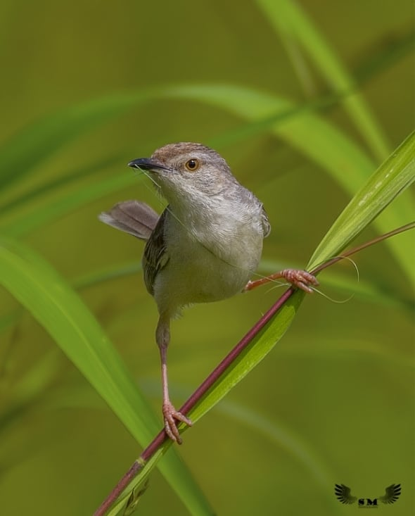 Prinia collecting nesting material