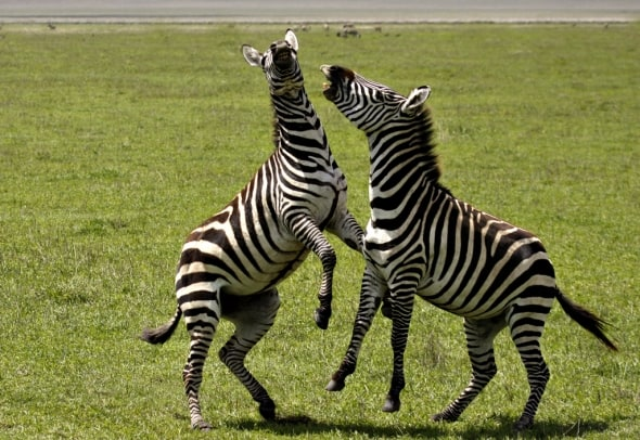 Zebra Confrontation