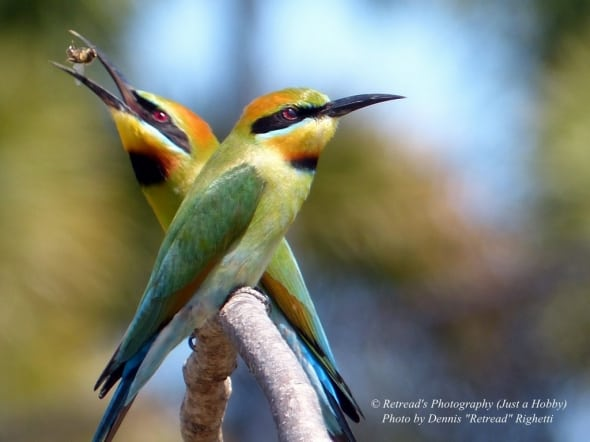 Rainbow Bee-eater  catching the Bee