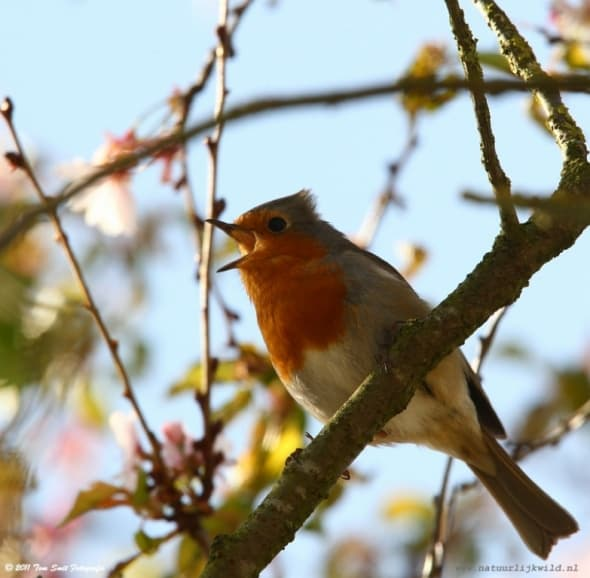 Robin Singing High in a Tree
