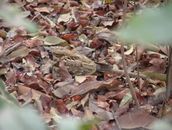 Longtailed nightjar in perfect camouflage at Brufut  forest Gambia