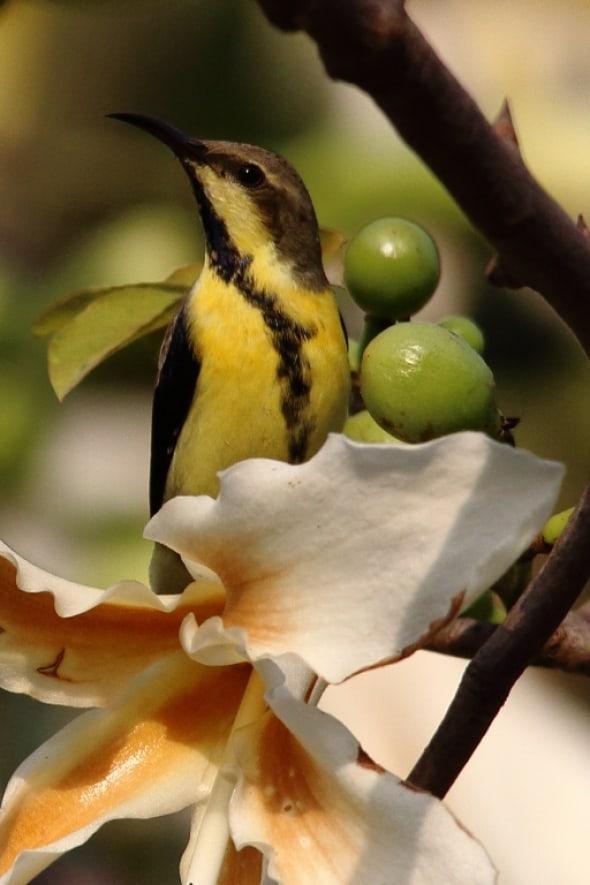 Poser -  Purple Sunbird  with eclipse plumage