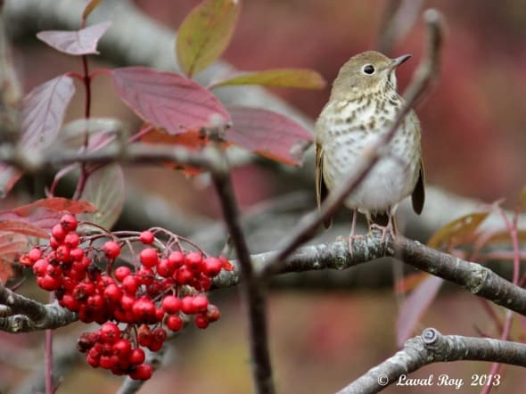 But where are the fruits?  seems to say this Hermit Thrush
