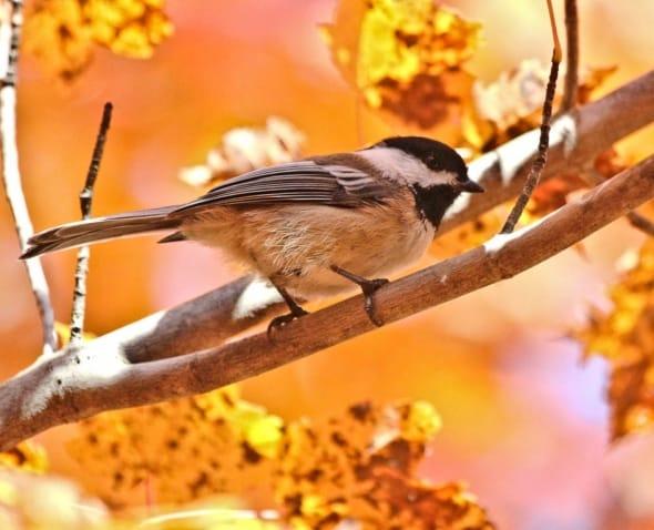 Fall Chickadee