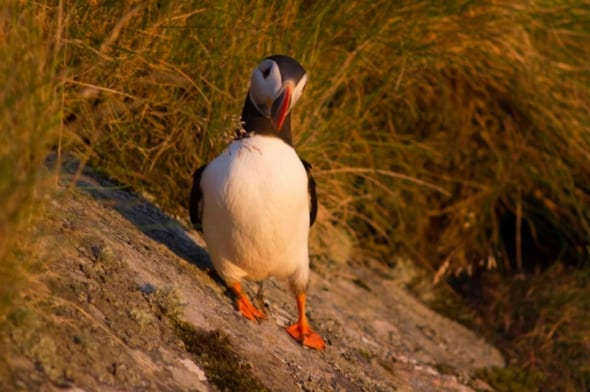 Puffin in sunset