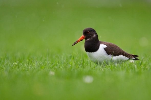No oysters - Common Oystercatcher in Switzerland