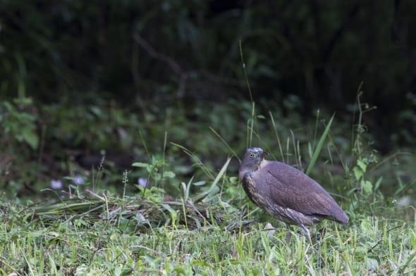 Japanese Night Heron (Gorsachius goisagi)