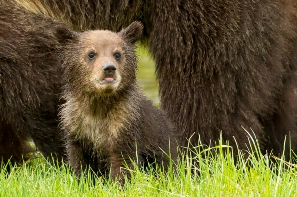 A Grizzly cub in Yellowstone