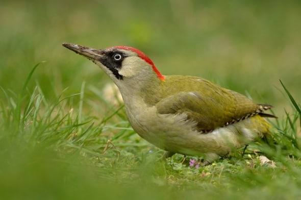 Green Woodpecker by Emil Ivanov
