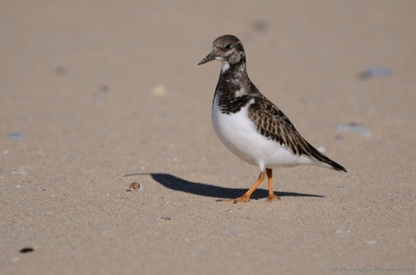 Ruddy Turnstone by Jean-Luc Parmentier