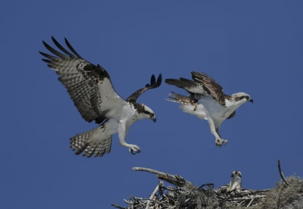 Osprey Pair Arriving at Nest with Chick by Lew Scharpf