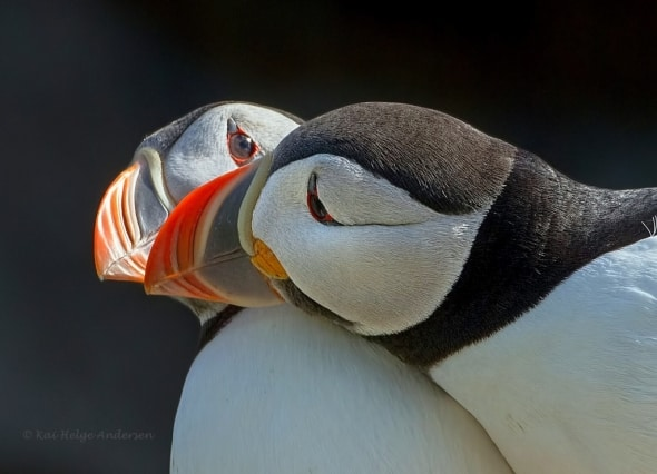 Puffins (Fratercula arctica) in love!  by Kai Helge Andersen