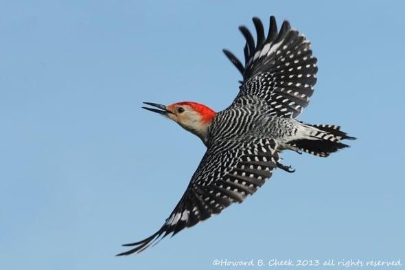 Red-bellied Woodpecker by Howard Cheek