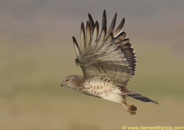 Short-toed Snake Eagle's flight by Clement Francis